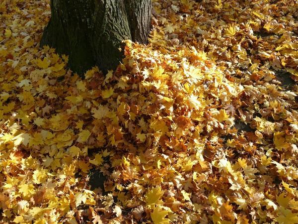 Не всякие листья можно использовать для укрытия растений