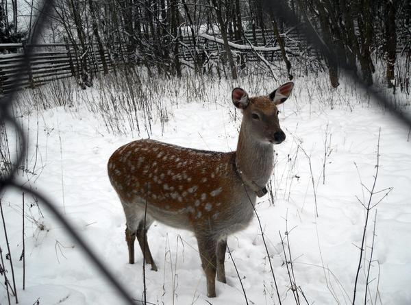 Молодая самка пятнистого оленя