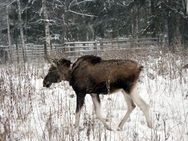 Подросших лосей отправляют на волю, в лес