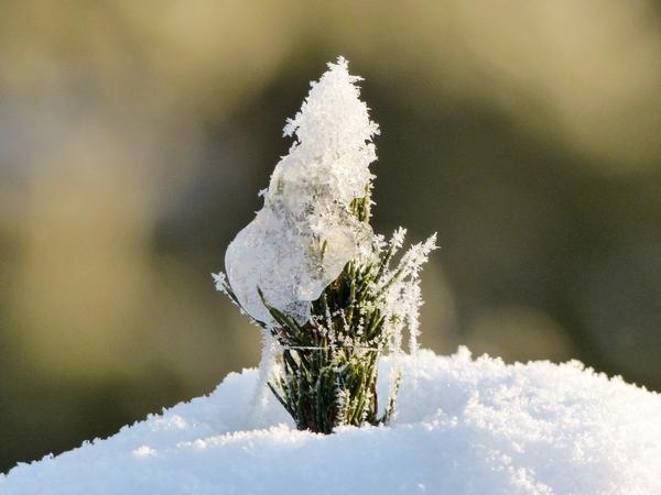 Снег - лучшее укрытие для растений