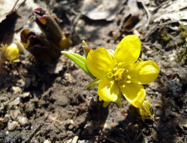 Эрантис, первые цветы
