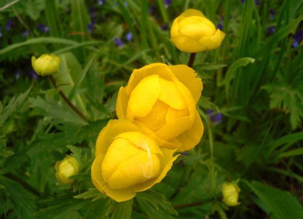 Купальница цветет в мае, но при хорошем уходе может порадовать повторным цветением осенью