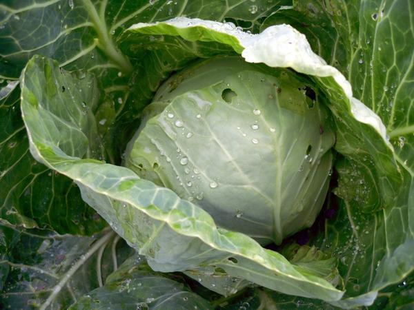 Барыня-капуста отращивает бока