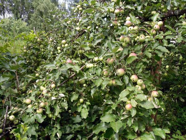 Яблок на ветках очень много