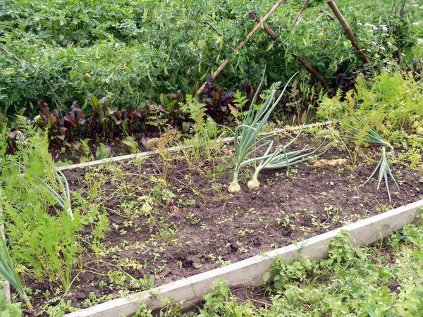 Проволочник уничтожил большую часть урожая моркови на этой грядке
