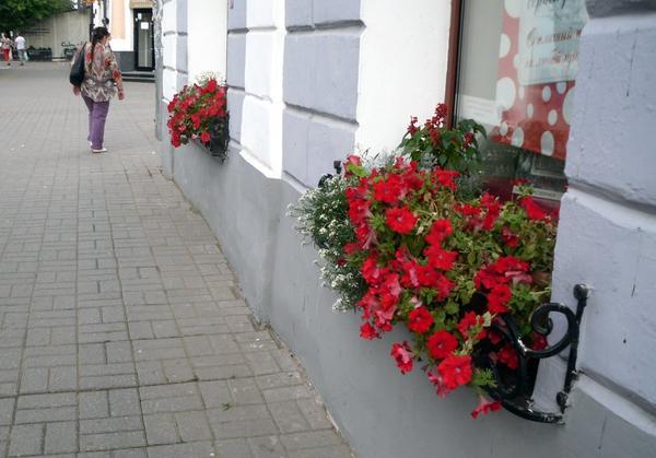 Петунии украшают подоконники магазинов и офисов