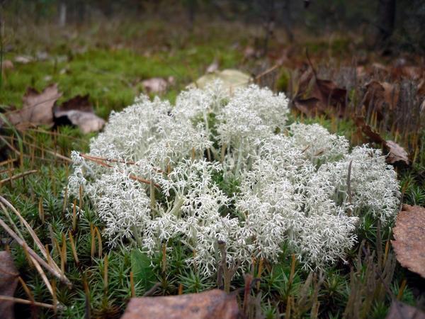 Белый мох