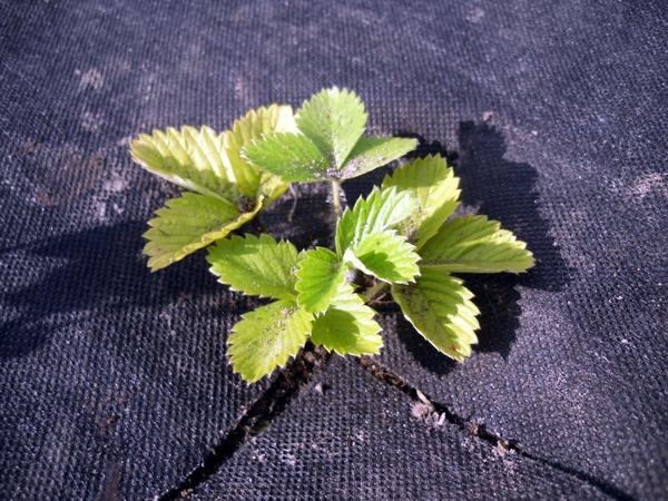 Накрыв почву плотным непрозрачным материалом, мы осложним жизнь сорнякам
