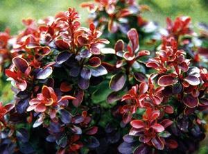 Барбарис обыкновенный Aureo-marginata