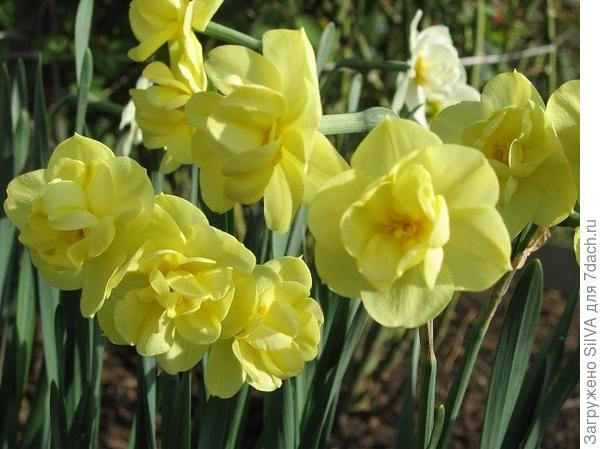 Нарцисс махровый Yellow Cheerfulness