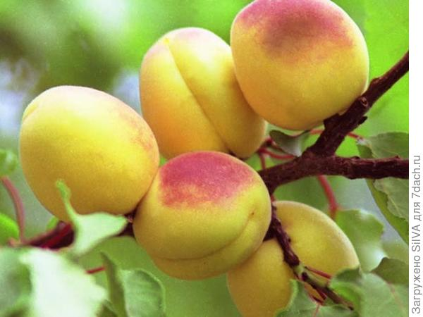 сорт абрикоса орловчанин