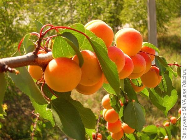 сорт абрикоса выносливый