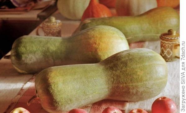 сорт мускатной тыквы жемчужина
