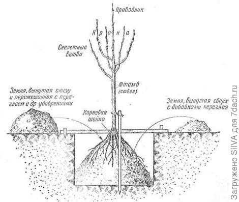 схема посадки саженца яблони в лунку