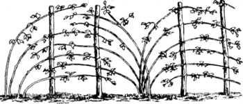 веерный способ подвязки малины