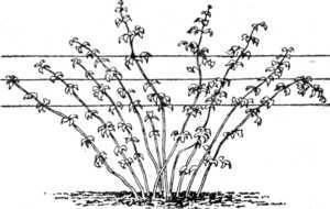 шпалерный метод подвязки малины