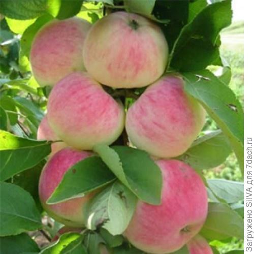 сорт яблок орловское полосатое