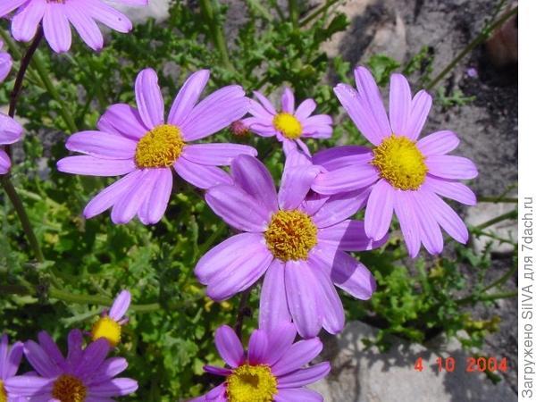 цинерария изящная фиолетовая