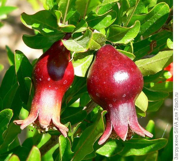 Плоды граната(Punica)
