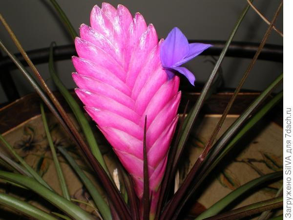 Тилландсия синяя с цветком