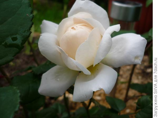 Роза 'Крокус Роуз'