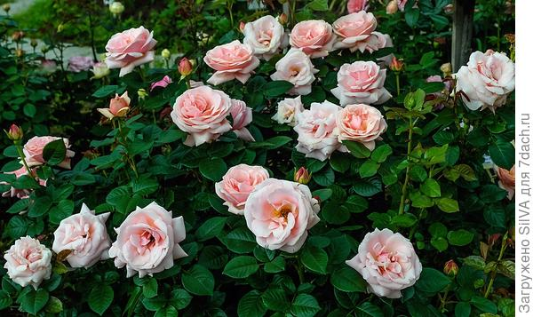 Роза Aphrodite