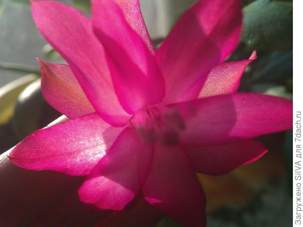 декабрист опять в цвету