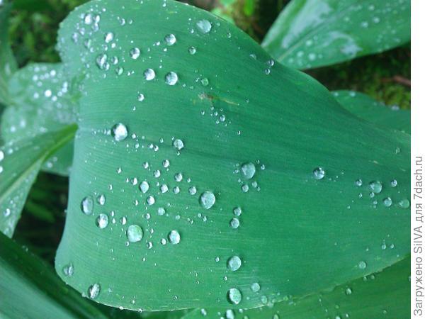 листья ландыша серебристого
