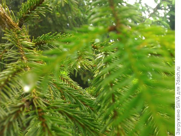 отражение в капле всей зелени иголок ели