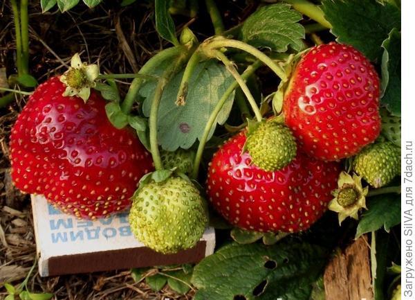 сорт земляники садовой Искушение(F1)