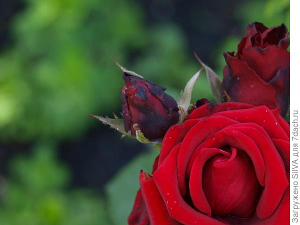 халатов роза белая роза алая видео