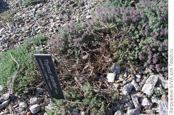 Thymus doerfleri ronn