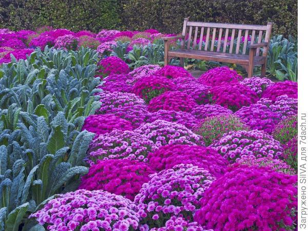 Садовые хризантемы