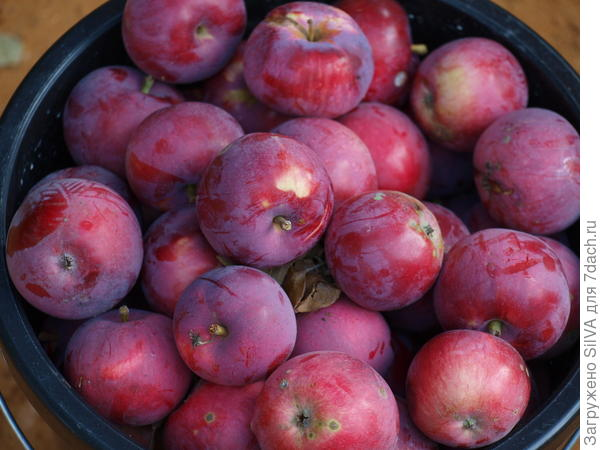 начало сбора осенних яблок
