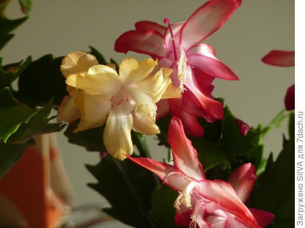 Шлюмбергера усеченная желтая и розовая Фото интернет