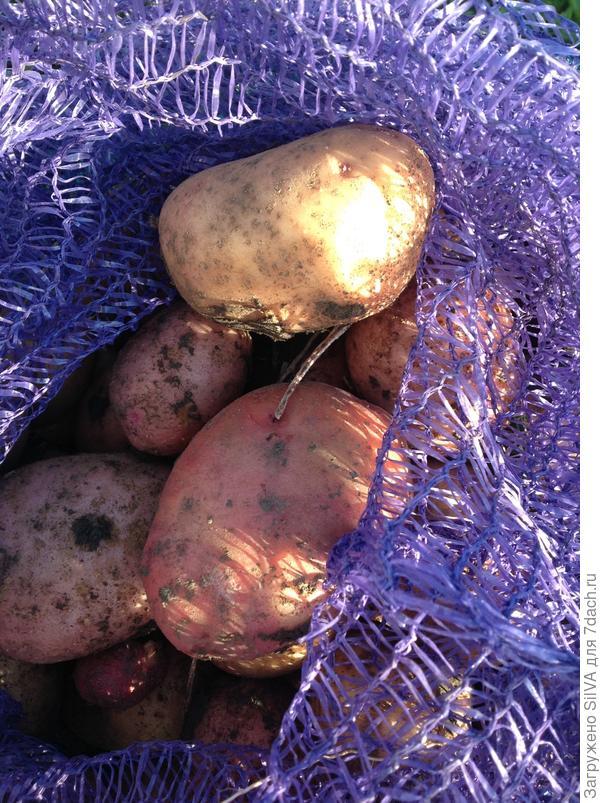 мой картофель