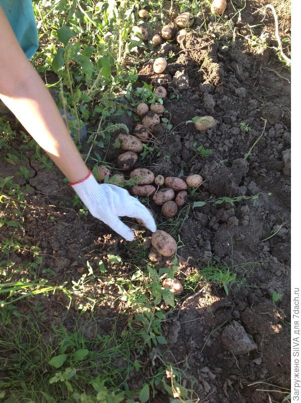 собираем картофель