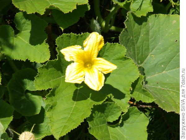 цветы тыквы