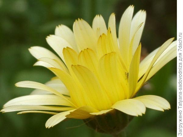 светло-жёлтая календула