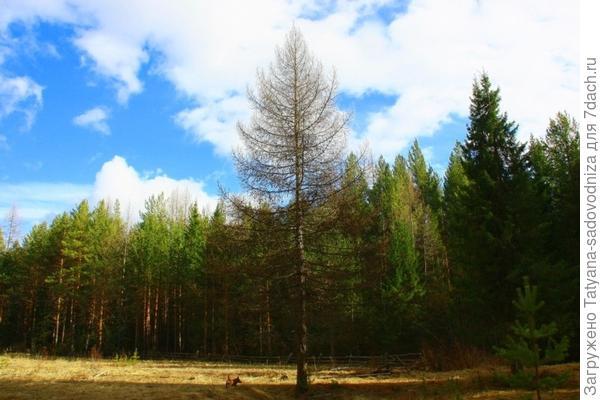 лиственница в природе