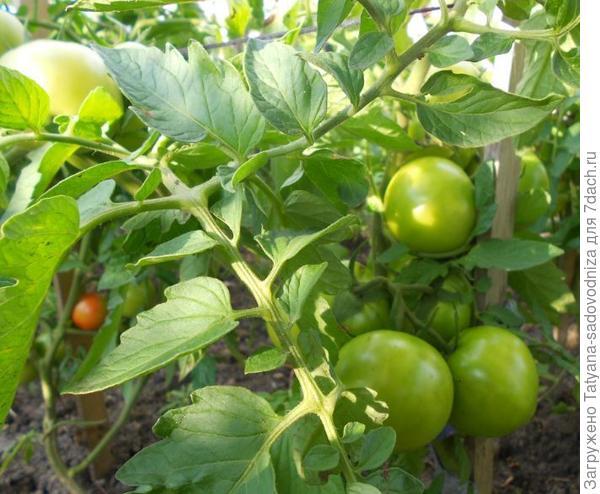 томаты малиновый гигант