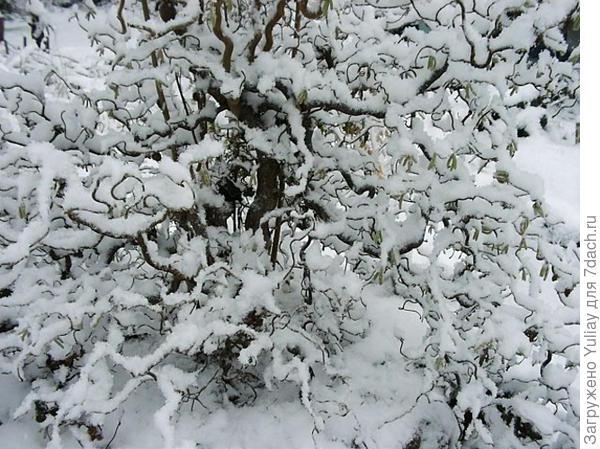 Лещина зимой