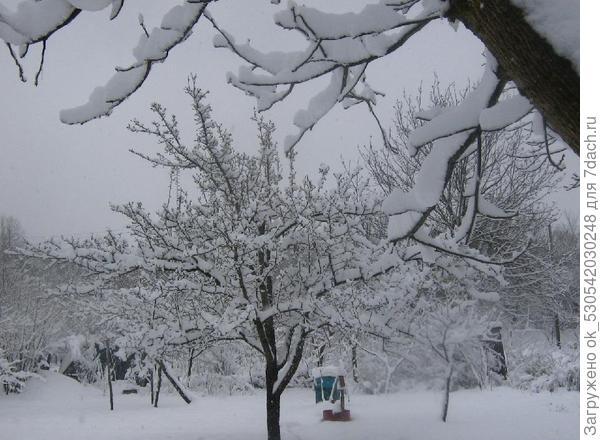 Слива под снегом.