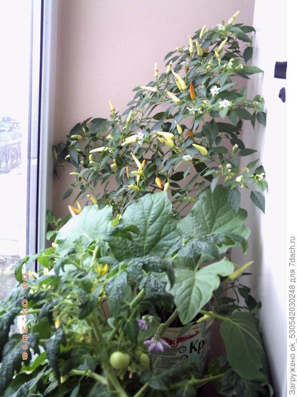 Баклажаны для выращивания на балконе 348