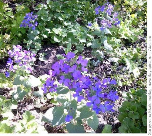 синенькие цветы