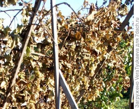 Ранняя осень, виноград после небольшого заморозка.