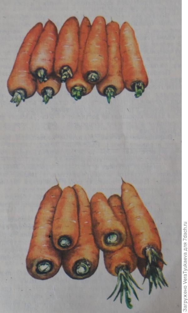 Так должны выглядеть подготовленные к зимнему хранению маточники моркови.