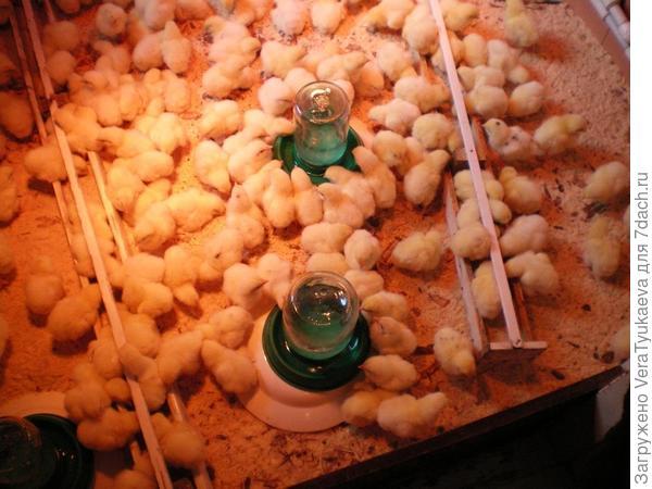 Поилки для цыплят.
