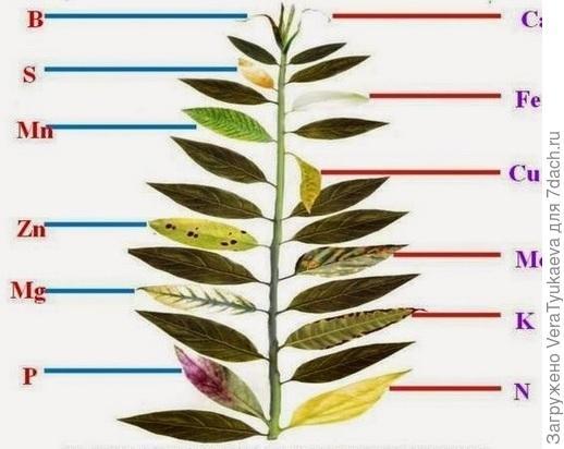 Недостаток элементов питания в листьях.
