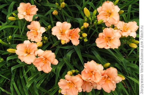http://www.arcadiandaylilies.com/ElizabethSalterClump.jpg